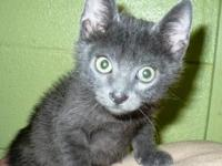 Russian Blue - Smirnoff - Medium - Baby - Male - Cat