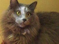 Russian Blue - Socrates - Large - Adult - Male - Cat