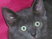 Russian Blue - Storm - Medium - Baby - Male - Cat If