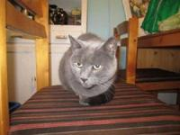 Russian Blue - Thomas - Medium - Senior - Male - Cat