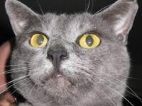 Russian Blue - Tolstoy - Medium - Adult - Male - Cat