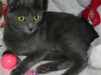 Russian Blue - Way - Small - Young - Female - Cat