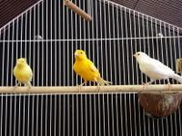 FOR THE FIRST TIME WE OFFERING THESE RUSSIAN CANARY