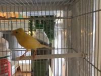 Russian canaries for sale many color WHOLE SALE