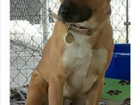 Rusty I a three year old boxer/Shepherd mix male dogI
