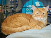 Rusty's story RustyCat-Domestic short hair  Male My