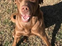 eet Rusty! Rusty is Lab/Chesapeake Bay Retriever