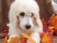 Rusty is a spectacular apricot and white parti poodle.