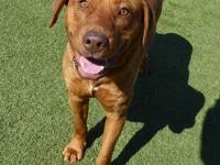 Rusty is a 1-year-old neutered male yellow lab. He
