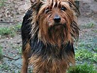 Rusty's story Rusty Male Yorkshire Terrier 1 year 10