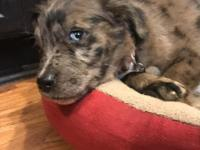 Rusty Ian is an adorable Australian shepherd mix puppy!