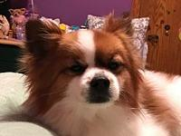 My story Hi, my name is RustyIm a Papillion mix about 8