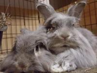 In early May 2015, four domestic lionhead rabbits were