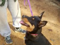 RYDER - EXCEPTIONALLY SMART male  Australian Cattle dog