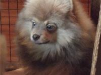 Ryder is a lovely chocolate sable male Pomeranian