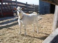 Fancy purebred Saanen bucklings- will sell with papers