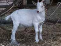One purebred Saanen wether for sale. If interested