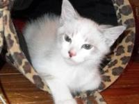 Pretty Ragdoll mix kitten looking for a home! He has