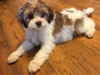 I have one sable and white female cockapoo puppy. She