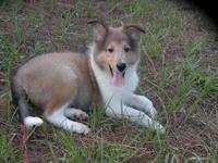 COLLIE MALE AKC. SABLE AND WHITE THIS LITTLE BOY TO ME