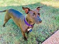 Sable's story Sable is a little doxie mix with a