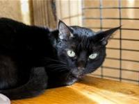 I am a very handsome, shy black kitty. My owner has