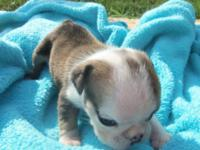 English bulldog Pup. Picture updates tomorrow. This