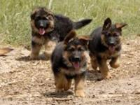 I have two beautiful German Shepard puppies for sale