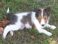 AKC beautifully marked sable and white male sheltie,