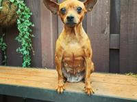 Sable is a sweet and mild mannered 5 year old minpin