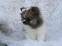 AKC sable parti female, people friendly and ready for