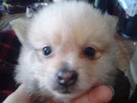 I have one sable male Pomeranian puppy for sale. He was
