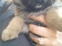Female Purebred Pomeranian Puppy. Will be a light brown