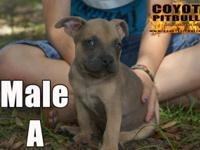 We have two puppies readily available from our Karma &