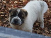 Sable/white female ori pei puppy. She is a soft
