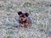 Punky is a favorite CKC registered Yorkie girl. She is