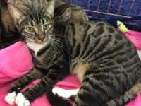 Sabrina. DSH female tabby with white. 8 months  Super