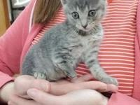 My story Sabrina is a female, 1.7 lb, gray