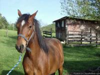 We have for sale a high stepping saddle horse. This