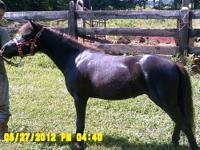 Saddlebred - Casper - Medium - Young - Male - Horse