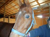 Saddlebred - Neptune - Large - Young - Male - Horse My