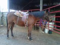 Looking to find a good home for my Saddlebred/Arab