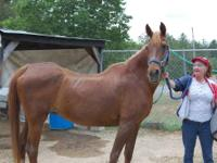Saddlebred - Athena Gold - Large - Senior - Female -