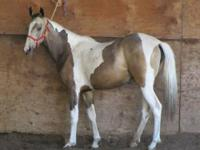 Double registered Sooty Buckskin and White