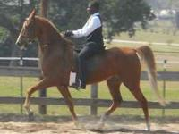 Offering Begginer through Advanced Saddleseat Lessons,