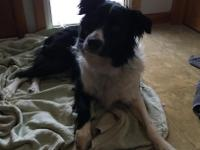 Sadie is a wonderful Aussie 2 years old Around