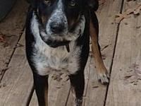 My story Adult cattle dogSadie came to us on September