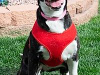 Sadie's story Sadie is a cattle dog mix. Her coat is