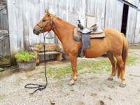 Sadie is a 2012 14 hand haflinger cross mare. She is