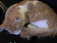 Saffron's story I am the cutest orange and white tabby